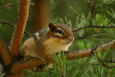 Chipmunk Photograph - Chip by Shane Holsclaw