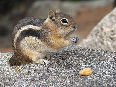 Photograph - Chipmunk 1 - Bless This Nut by Teresa Cox