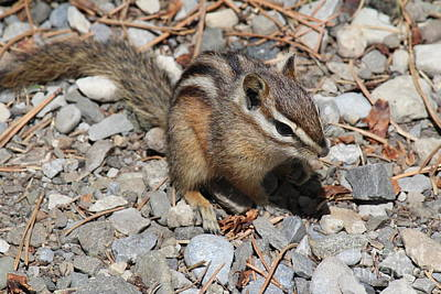 Photograph - Chipmunk by Ann E Robson