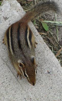 Photograph - Chipmunk by Barbara Yearty