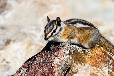 Photograph - Chipmunk by Ben Graham