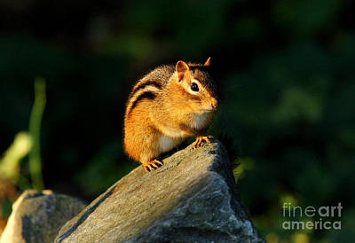 Photograph - Chipmunk by Butch Lombardi