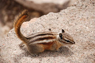 Photograph - Chipmunk by Charlie and Norma Brock