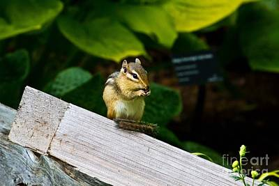 Photograph - Chipmunk Chow Time by Ms Judi