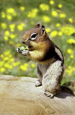 Chipmunks Wall Art - Photograph - Chipmunk Feeding by Tony Craddock/science Photo Library