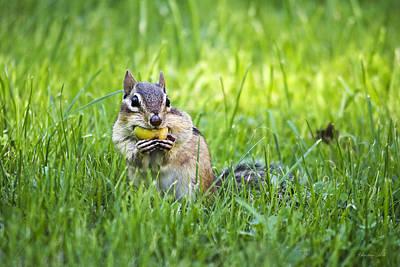 Giuseppe Cristiano - Chipmunk Gathering Nuts by Christina Rollo