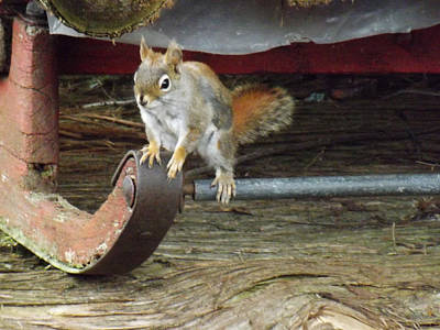 Photograph - Chipmunk Hitch Hiker by Brenda Brown