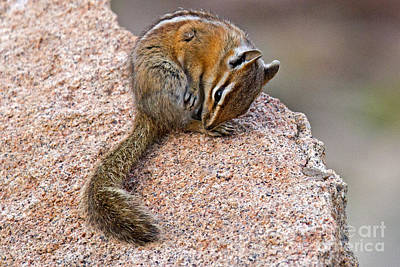 Photograph - Chipmunk In Rocky Mountain National Park by Fred Stearns