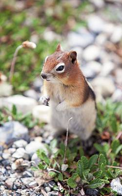 Chipmunk Photograph - Chipmunk In The Canadian Rockies by Ashley Cooper