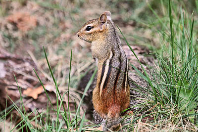Photograph - Chipmunk In The Yard by Peggy Collins