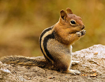 Photograph - Chipmunk by Jean Noren