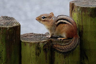 Art Print featuring the photograph Chipmunk by Kathy Gibbons