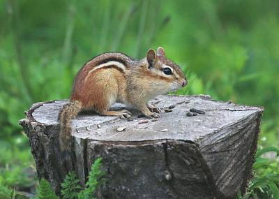 Photograph - Chipmunk  by Lucinda VanVleck