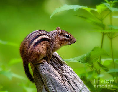 Photograph - Chipmunk by Mark Miller