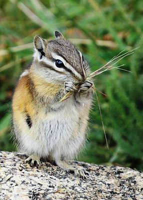 Photograph - Chipmunk by Nina Donner