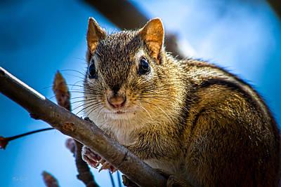 Squirrel Photograph - Chipmunk On A Branch by Bob Orsillo