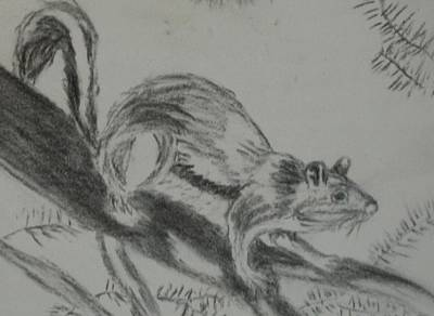 Drawing - Chipmunk On The Prowl by Thomasina Durkay