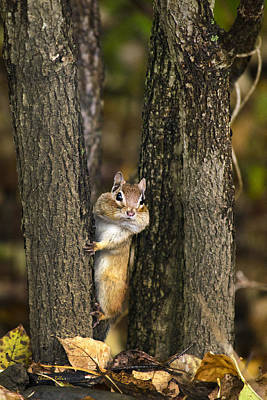 Photograph - Chipmunk Peek A Boo by Christina Rollo