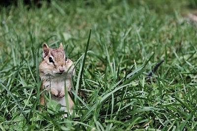 Nature Photograph - Chipmunk by Samantha Howell