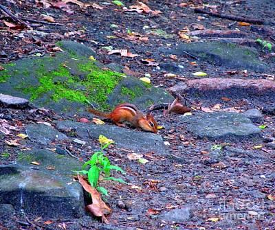 Chipmunk Scrounging Amoung The Rocks Art Print by Matthew Peek