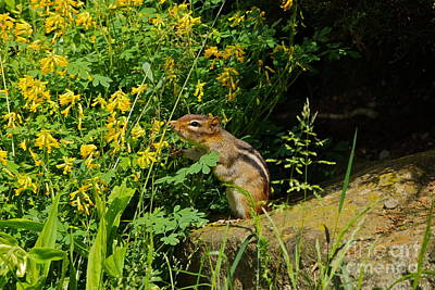 Photograph - Chipmunk Sniffing Flowers by Byron Varvarigos