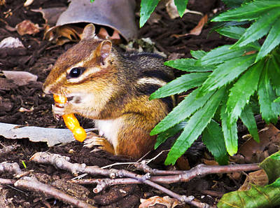 Photograph - Chipmunk With Cheesy Snack by Shawna Rowe