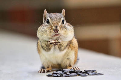 Squirrels Photograph - Chipmunk With Full Cheeks by Peggy Collins