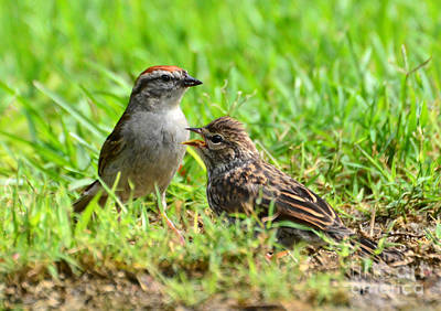 Photograph - Chipping Sparrow And Chick by Kathy Baccari