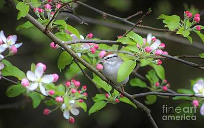 Mebane North Carolina Photograph - Chipping Sparrow by Benanne Stiens