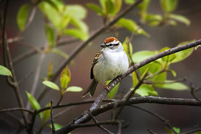 Photograph - Chipping Sparrow by Christina Rollo