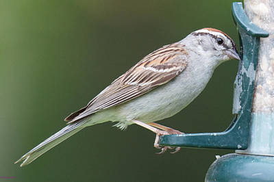Photograph - Chipping Sparrow by Kristin Hatt