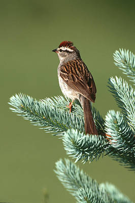 Chipping Sparrow (spizella Passerina Art Print