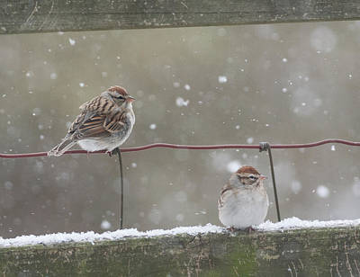 Photograph - Chipping Sparrows In Winter by Melinda Fawver
