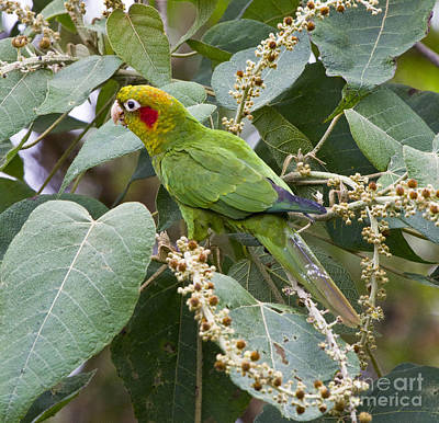 Parakeet Photograph - Chiriqui Conure 2 by Heiko Koehrer-Wagner