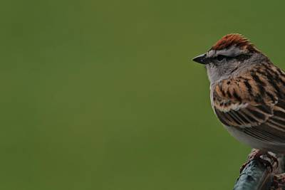 Sparrow Photograph - Chirping Sparrow On Green by Dan Sproul