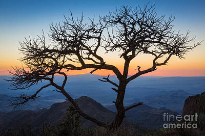 South Rim Photograph - Chisos Tree by Inge Johnsson