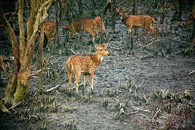Chital Deer (axis Axis Art Print by Connie Bransilver