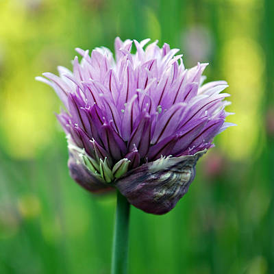 Photograph - Chive Blossom by Kjirsten Collier