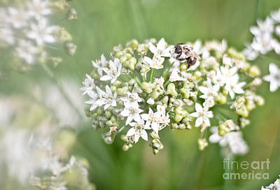 Photograph - Chive Flowers And Friend by Cheryl Baxter