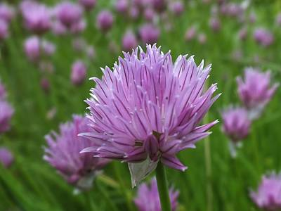 Photograph - Chive by Gene Cyr