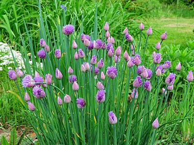 Photograph - Chives Clump by MTBobbins Photography