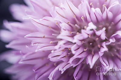 Photograph - Chives Flower by Elena Elisseeva
