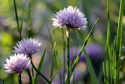 Photograph - Chives by Kim Hymes