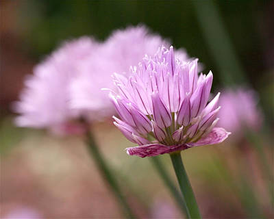 Chives Art Print by Rona Black