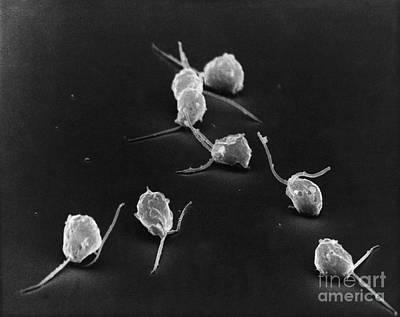 Unicellular Alga Photograph - Chlamydomonas by David M. Phillips