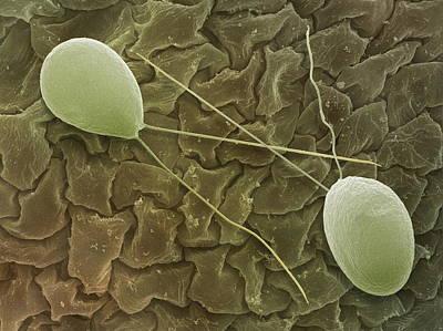 Chlamydomonas Sp. Algae, Sem Art Print by Power And Syred