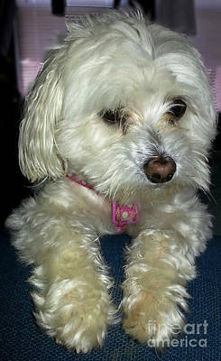 Toy Maltese Photograph - Chloe2 by Emmy Vickers