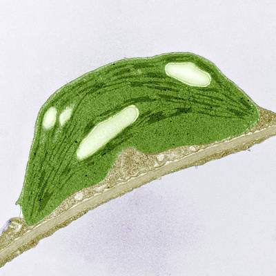 Manipulation Photograph - Chloroplast Of Arabidopsis Thaliana. Tem by Science Stock Photography