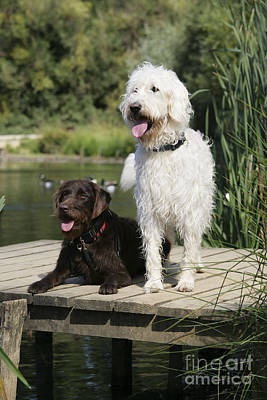Wooden Platform Photograph - Chocolate And Cream Labradoodles by John Daniels