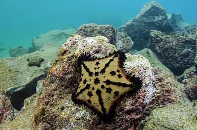 Chocolate Chip Starfish (nidorelllia Art Print by Pete Oxford